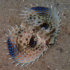 Photo of a Flying Gurnard fish